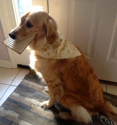 Golden retriever with matzah in his mouth and a matzah bandana