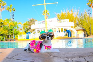 tiny dog in a bathing suit and sunglasses in front of a pool