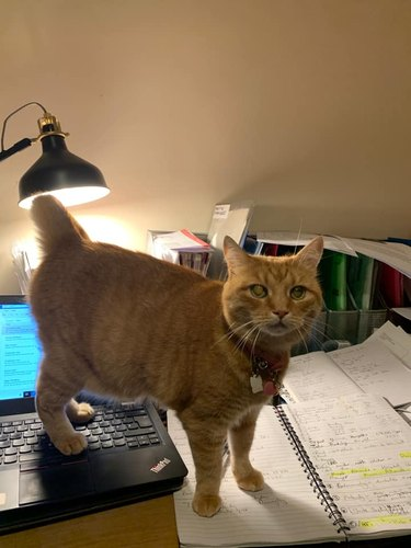 cat stands on computer