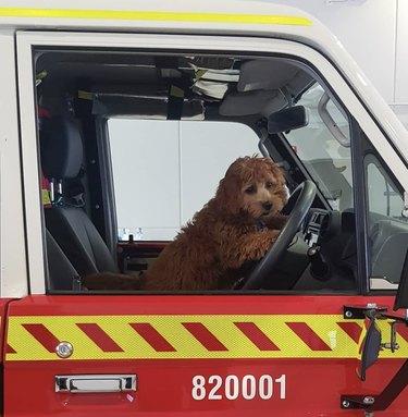 dog driving firetruck