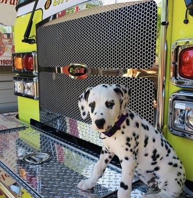 dalmatian next to firetruck