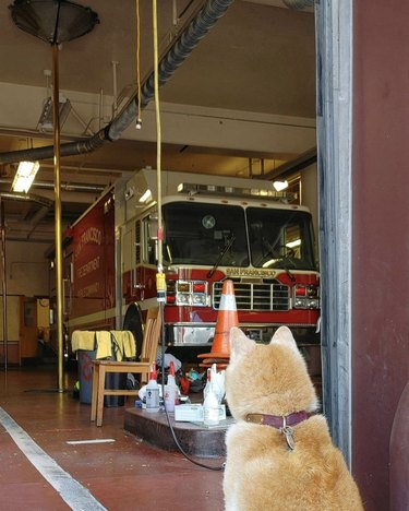 shiba dog looking inside fire station