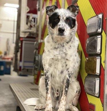 dog sitting on firetruck
