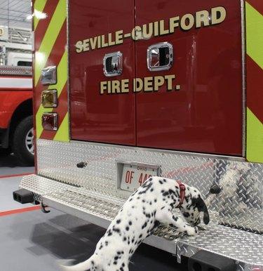 dalmatian sniffing firetruck