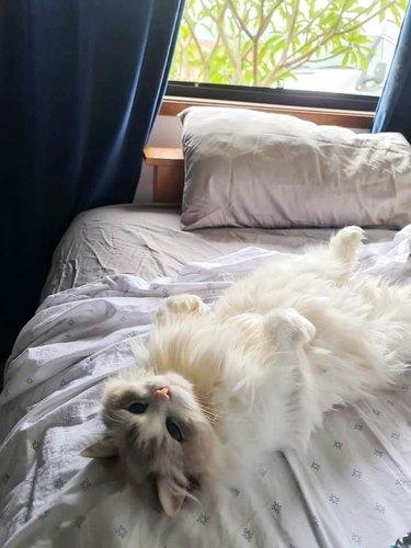 fluffy white cat belly
