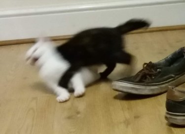black kitten tackles white kitt