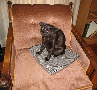 black cat with earplane ears