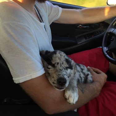 Puppy sleeping in lap of car driver