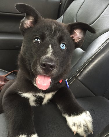 Puppy with two different color eyes in car's front passenger seat.
