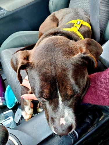 Dog sleeping on arm of person driving car.