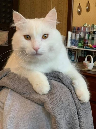 white cat all grown up