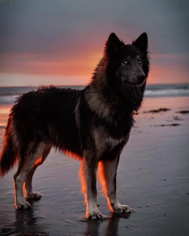 wolf dog loves sunsets
