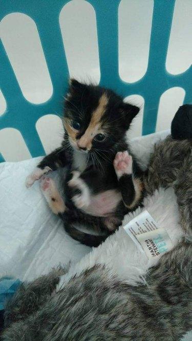 kitten in laundry basket
