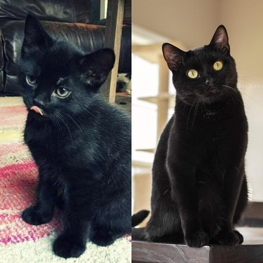 black cat as a kitten vs black cat as an adult