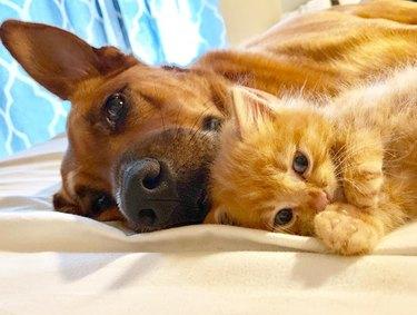 Dog and kitten cuddling