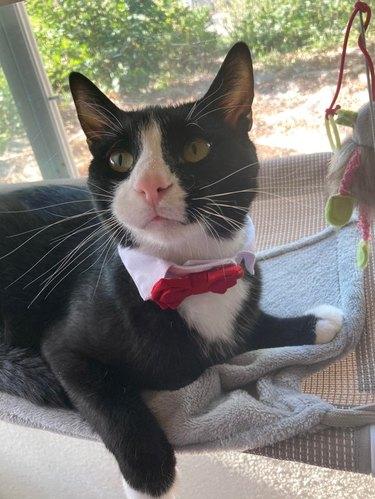 Tuxedo cat wearing red bowtie
