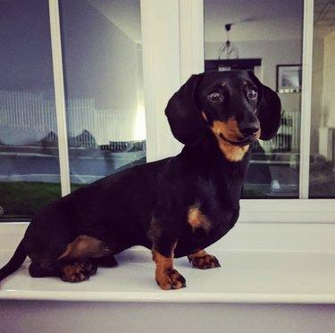 dachshund on windowsill