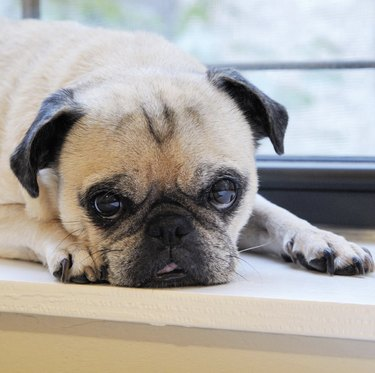 pug lying on windowsill
