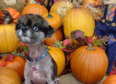 intense looking dog by pumpkins