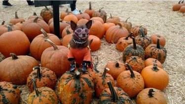 tiny dog in sunglasses on pumpkin