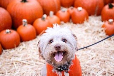 happy furry dog matching pumpkins
