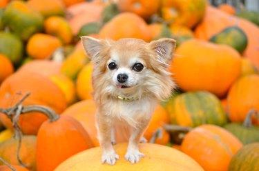 little dog on pumpkin