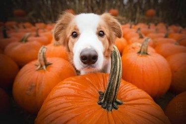 dog hiding behind pumpkin