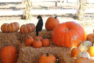 cat sitting on hay bale by pumpkin
