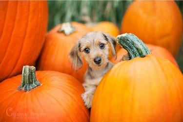 small dog behind pumpkin
