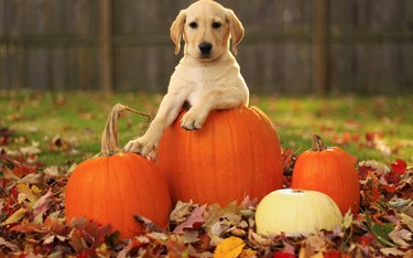 dog leaning on pumpkin