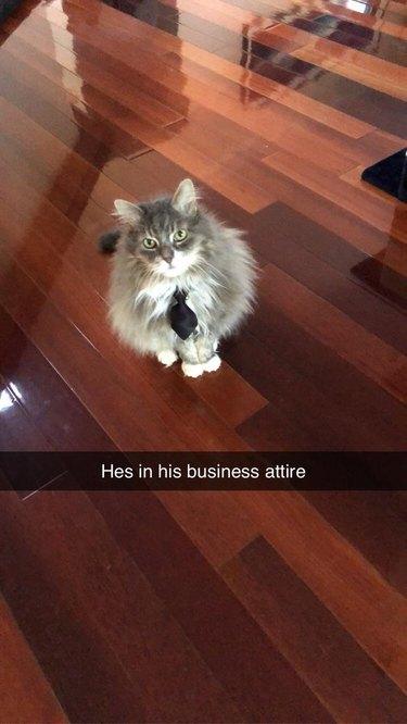 Cat wearing necktie.