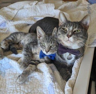 Cat and kitten wearing bowties.