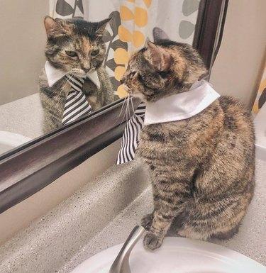 Cat wearing necktie looking in mirror.