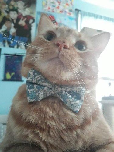 Cat wearing bowtie.