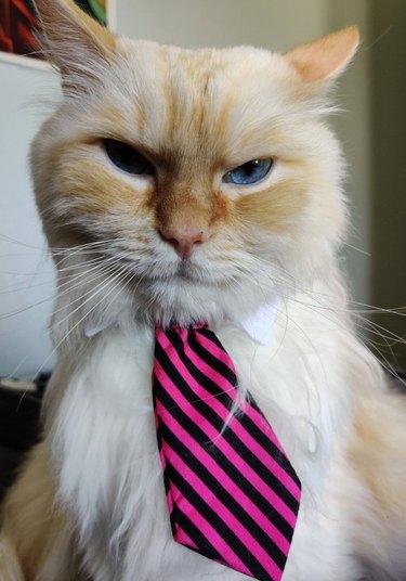 Grumpy cat wearing necktie.