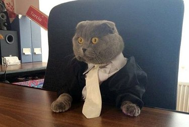 Cat wearing necktie at desk.