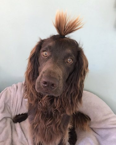 cocker spaniel with high ponytail