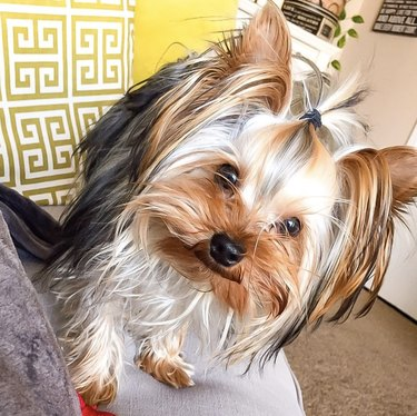 yorkie with a small ponytail
