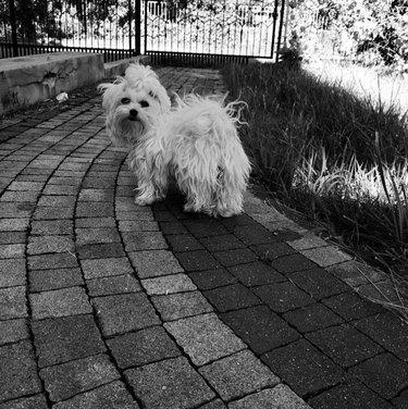 white dog with ponytail