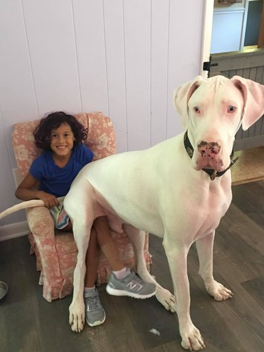 big dog sits on child's lap