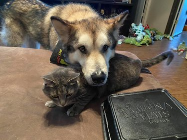 big dog rests head on cat