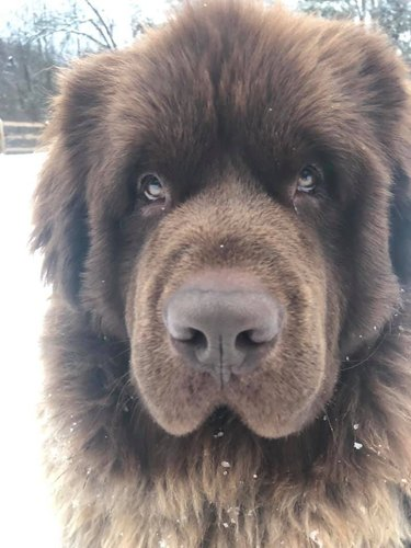 big dog looks like brown bear