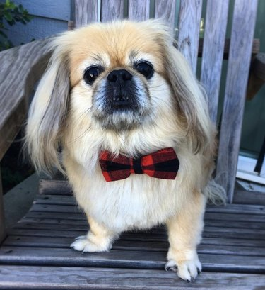 dog in plaid bowtie