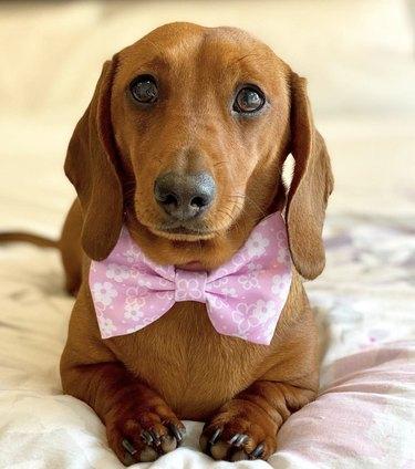 dog in pink bowtie