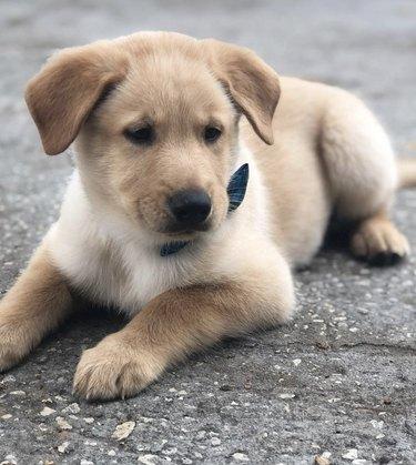 puppy in dark blue bowtie