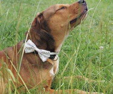 dog in sparkly bowtie