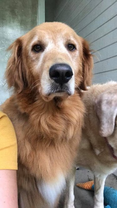 golden retriever is disappointed