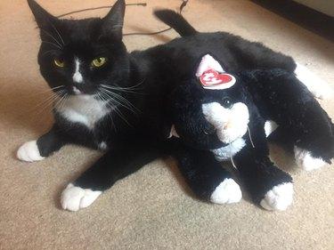 tuxedo cat with tuxedo cat stuffed animal