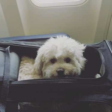dog inside bag in airplane seat