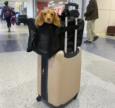dachshund in travel bag atop luggage